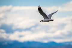 Seagull i flyg Shevelev Royaltyfria Bilder