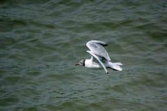 Seagull i flykten över flodThemsen, London, England Arkivfoto