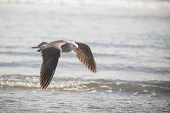 Seagull i flykten över Stilla havet arkivfoton
