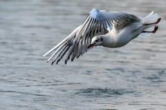 Seagull i flykten över vatten fotografering för bildbyråer