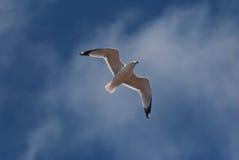 Seagull i flykten royaltyfria foton