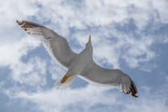 Seagull i flykten med utsträckta vingar Royaltyfria Foton