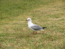 Seagull i gräset Royaltyfri Fotografi