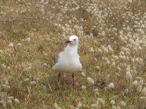 Seagull i gräset Arkivbilder