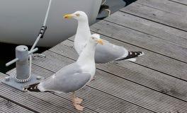 Seagull i hamnen! Arkivfoton