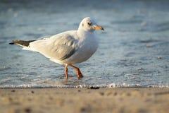Seagull i havet Fotografering för Bildbyråer