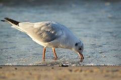 Seagull i havet Royaltyfri Fotografi