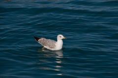 Seagull i havet Royaltyfria Bilder