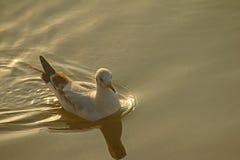 Seagull i havet Royaltyfri Bild