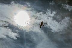 Seagull i himmel med moln och den ljusa solen Arkivfoto