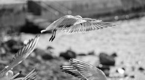 Seagull i luften royaltyfri fotografi