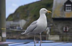 Seagull i Mevagissey Arkivfoton