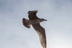 Seagull i molnig himmel Royaltyfri Bild