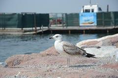 Seagull i molo obrazy royalty free