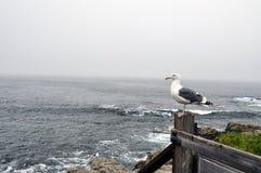 Seagull i Monteray Royaltyfri Foto