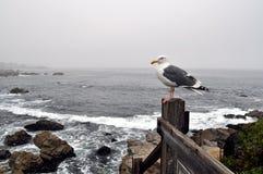 Seagull i Monteray Royaltyfria Bilder