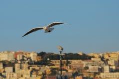 Seagull i Naples arkivfoton