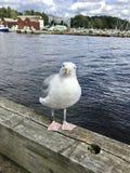 Seagull i Oslo, Norge royaltyfria foton