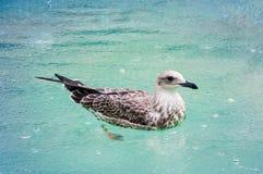 Seagull i pölen fotografering för bildbyråer