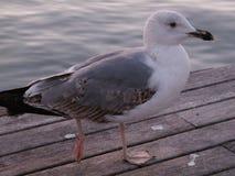 Seagull i pir royaltyfri fotografi