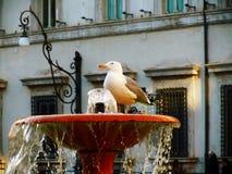 Seagull i Rome Arkivbilder