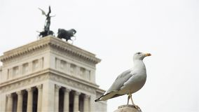 Seagull i Rome, slut upp stock video