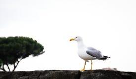 Seagull i romersk sikt arkivbild