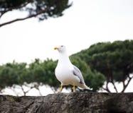 Seagull i romersk sikt arkivfoton