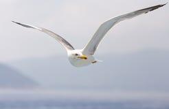 Seagull i sökande av fisken Arkivfoton