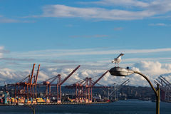 Seagull i Seattle Arkivbild