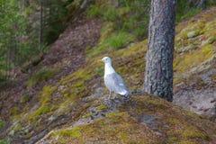 Seagull i skogen Royaltyfria Foton