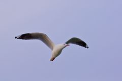 Seagull i skyen Royaltyfri Foto
