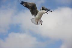 Seagull i skyen Royaltyfria Foton