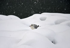 Seagull i snöhäftig snöstorm Royaltyfri Bild