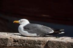 _ Seagull i solen royaltyfri foto