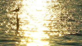 Seagull i solnedgången lager videofilmer