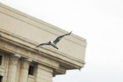 Seagull i stad Royaltyfri Fotografi