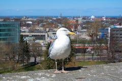 Seagull i Tallinn royaltyfri fotografi