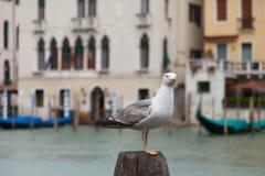 Seagull i Venedig Royaltyfria Foton
