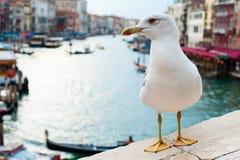 Seagull i Venedig arkivfoto