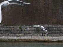 Seagull i vinterflyg Fotografering för Bildbyråer