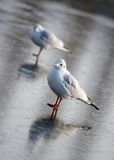 Seagull on ice Stock Photo