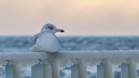 SEAGULL ON ICE Royalty Free Stock Image