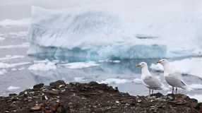 Seagull with iceberg background Royalty Free Stock Photo