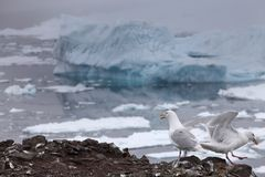 Seagull with iceberg background Stock Photo