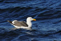 Seagull III Obrazy Stock