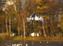 Seagull In Autumn Park Royalty Free Stock Photos