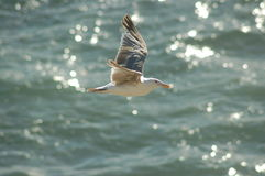 Free Seagull In Flight Royalty Free Stock Photos - 1331128