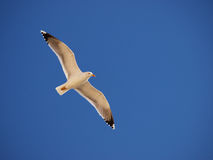 Free Seagull In Flight Royalty Free Stock Images - 14222539