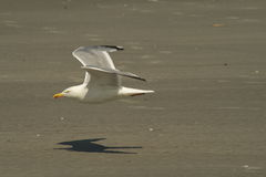 Free Seagull In Flight Royalty Free Stock Images - 2891589